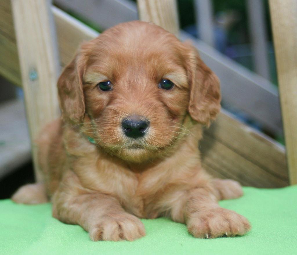 Boek-Labradoodle-Geheimen-puppy
