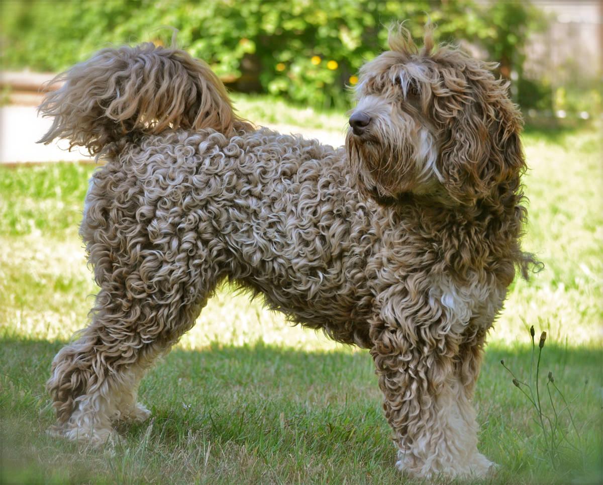 Labradoodle-curly-fleece-wat-je-moet-weten-over-de-vacht