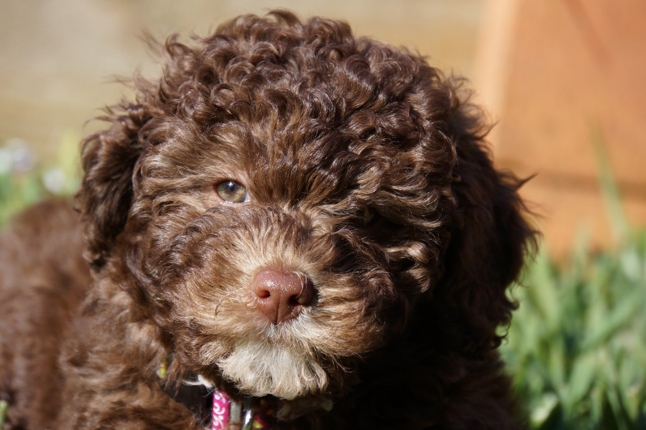 Labradoodle-bruin-een-puppy