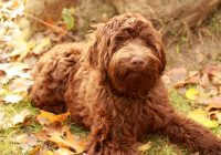 Labradoodle-medium