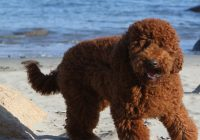 labradoodle-vacht-wollenvacht