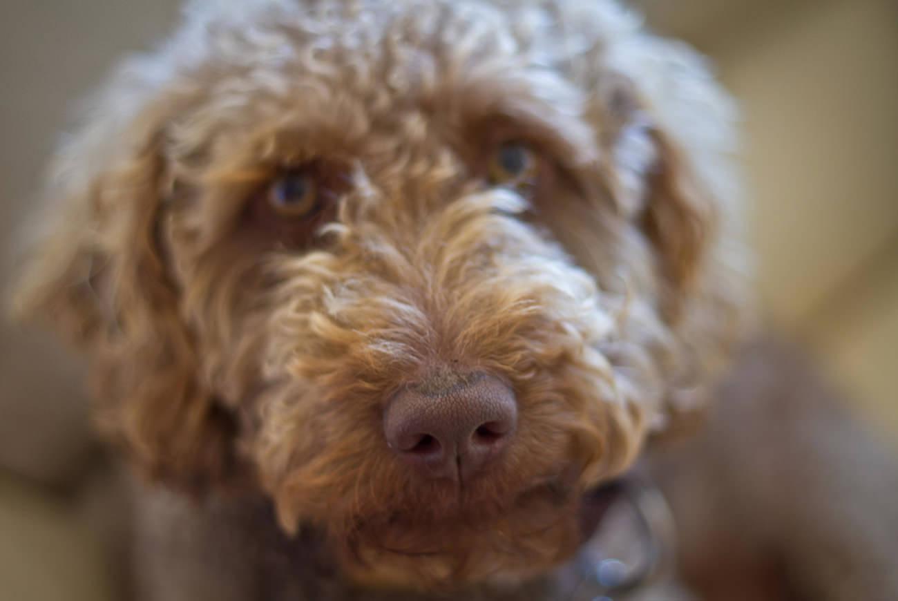 labradoodle-opvoeden-een-angstige-hond