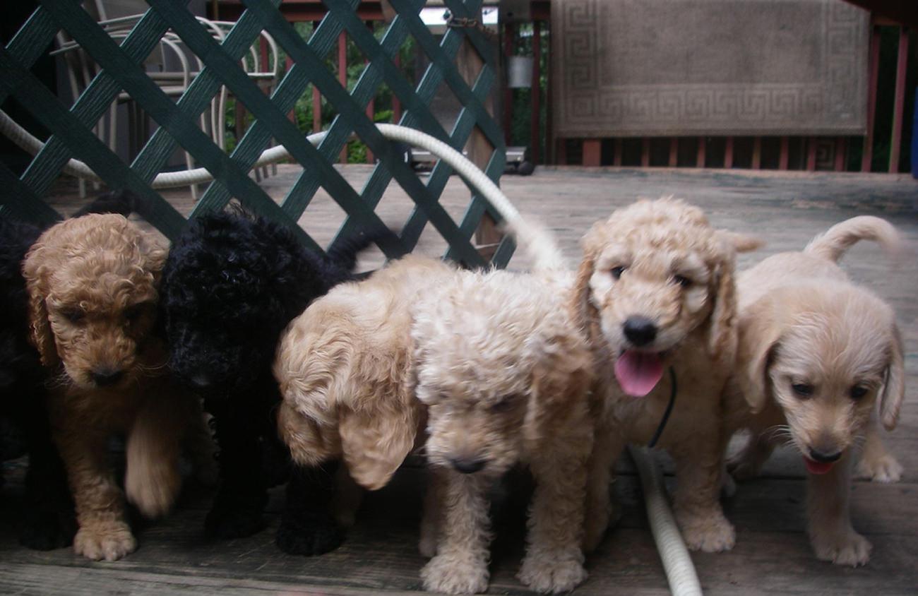 labradoodle-pups-te-koop-waar-moet-je-op-letten-2