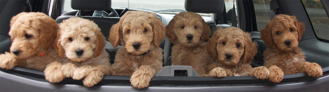 je-australian-labradoodle-pup-laten-wennen-aan-de-auto-puppies-in-de-auto