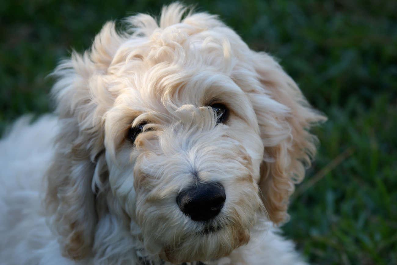 je-australian-labradoodle-pup-laten-wennen-aan-de-auto