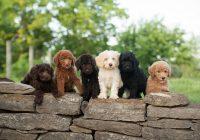 labradoodle-pup-opvoeden-4-stappen-voor-het-aanleren-van-commandos