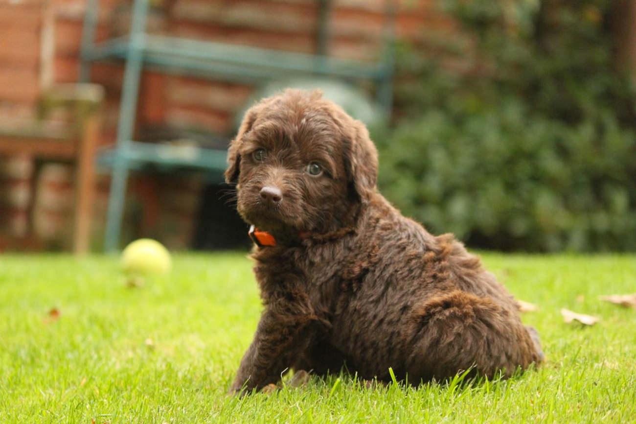 labradoodle-puppy-in-het-gras