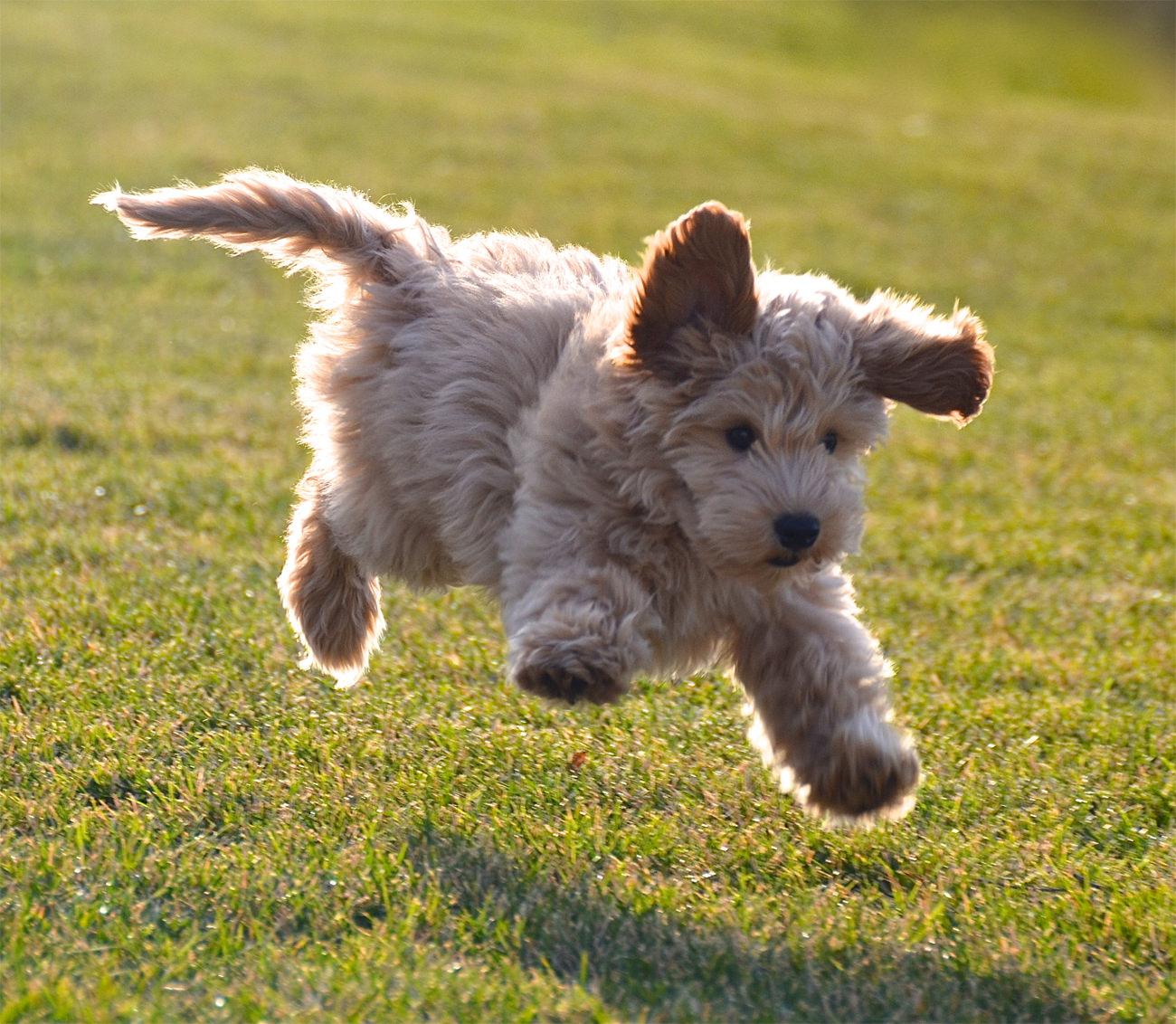 labradoodle-puppy-springen