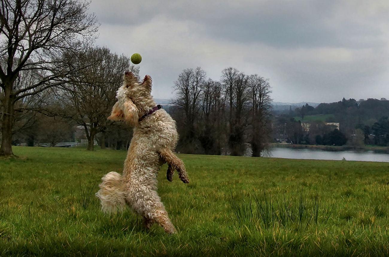 Springende-Labradoodle-naar-bal