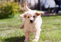 Een-(Australian)-Labradoodle-pup-nemen--Lees-deze-7-tips