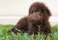 Een-(Australian)-Labradoodle-pup-nemen--Lees-deze-7-tips.-Deel-2