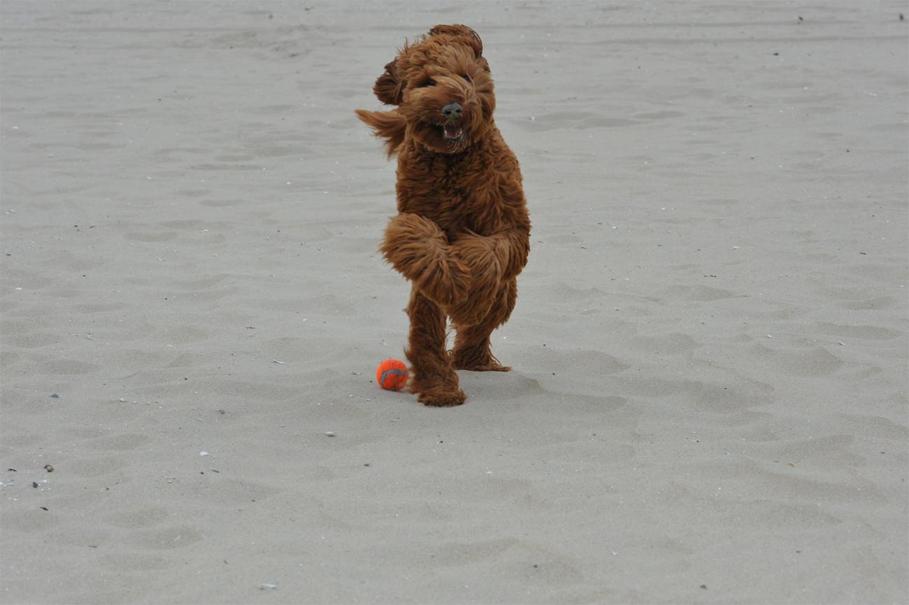 Labradoodle-aan-het-spelen-in-het-zand