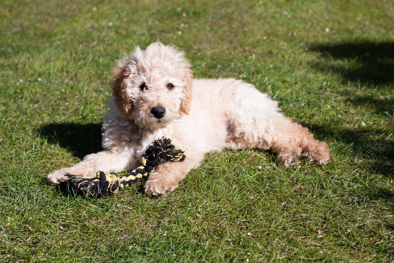Tips-bij-de-aanschaf-van-een-(Australian)-Labradoodle-puppy