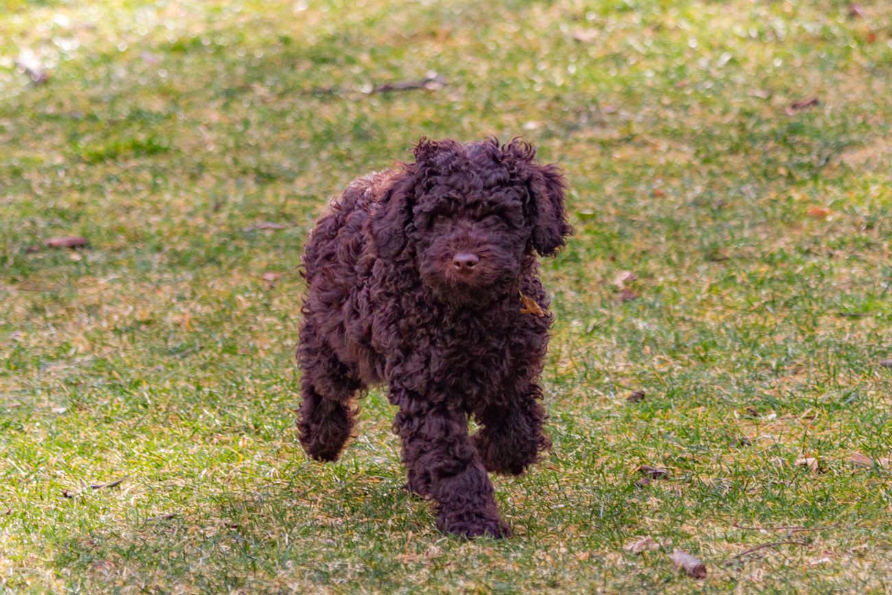 zindelijkheidstraining-bij-labradoodle-pup