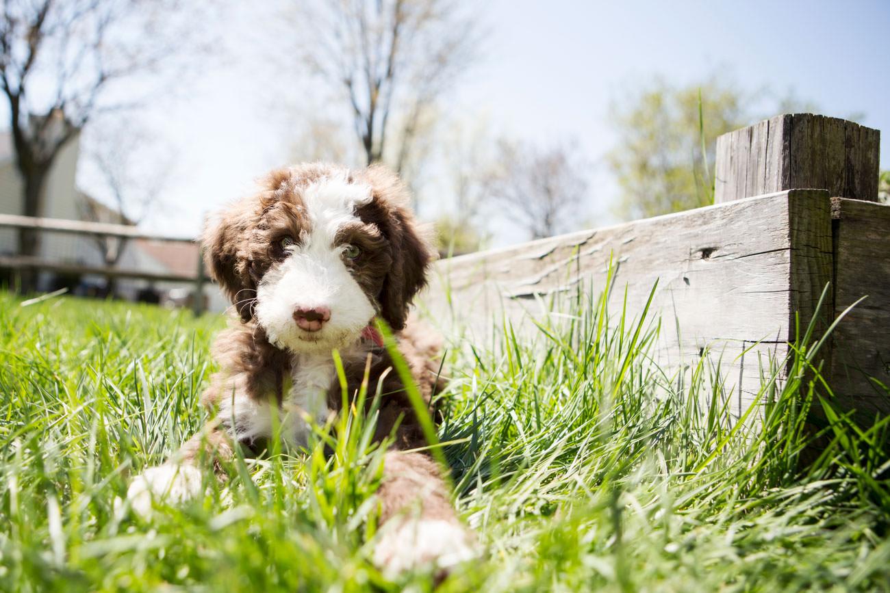 Labradoodle-pup-in-het-gras