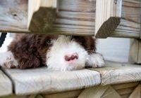 11-tips-voor-hondenvoer-en-eetgedrag-bij-je-Labradoodle