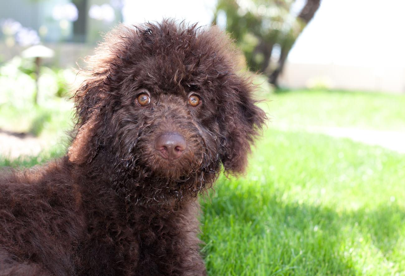 Wil-je-een-(Australian)-Labradoodle-pup-kopen--Let-dan-op-deze-punten-2