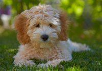 Wil-je-een-(Australian)-Labradoodle-pup-kopen--Let-dan-op-deze-punten!