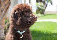 Hoe verloopt een (Labradoodle) puppy kijkdag?