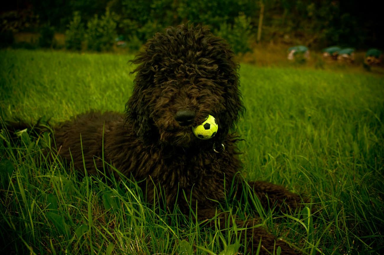 Is de (Australian) Labradoodle een hond die niet verhaart? - 2