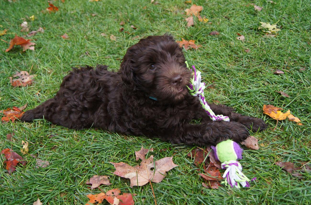 Tips om je Labradoodle (hond) te ontwormen