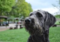 Tips om een oude (Labradoodle) hond te verzorgen