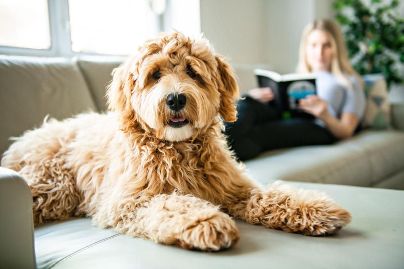 Labradoodle oormijt-bij-je-hond-behandelen