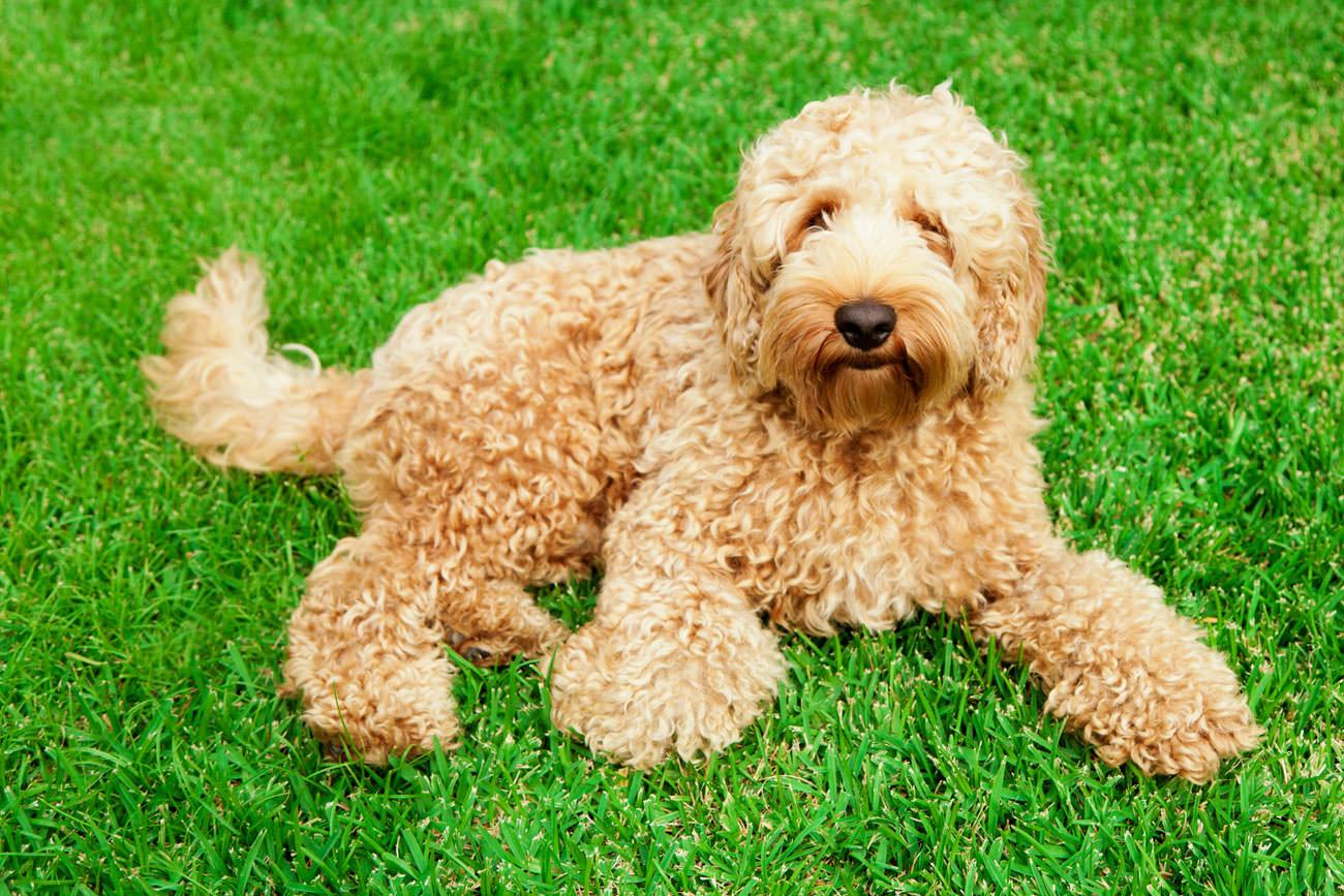 Blaasontsteking bij je hond herkennen, behandelen en voorkomen - Labradoodleinfo