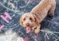 10 tips voor het welzijn van je Labradoodle of andere hond v1-min