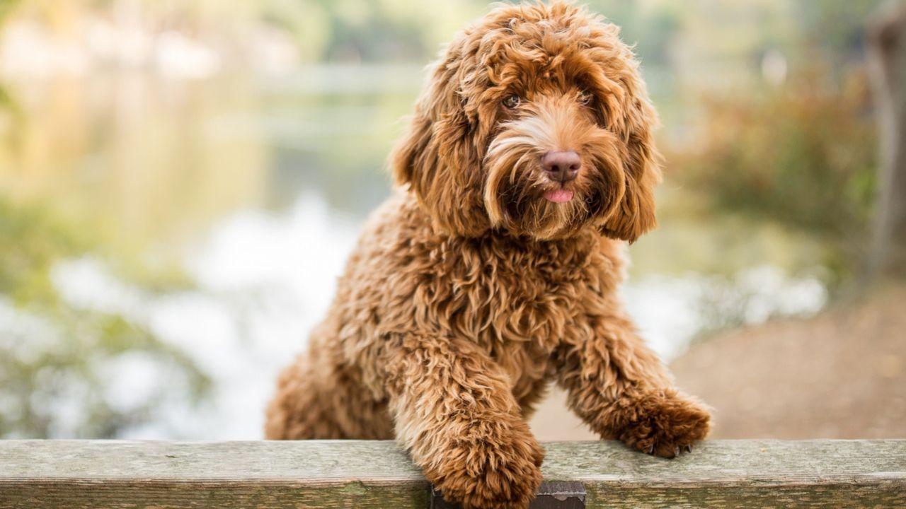 Labradoodleinfo - Wat mogen honden wel en niet eten