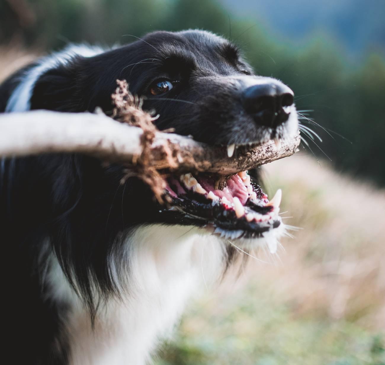 Tips voor gebitsreiniging bij je hond-min
