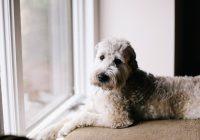 18 tips voor het opruimen van hondenhaar Labradoodle-min