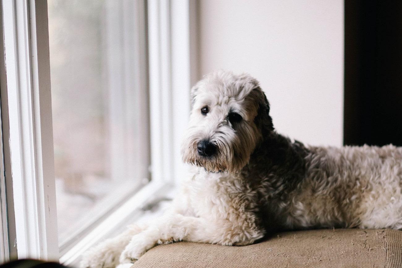 Ziekte van Cushing bij een hond