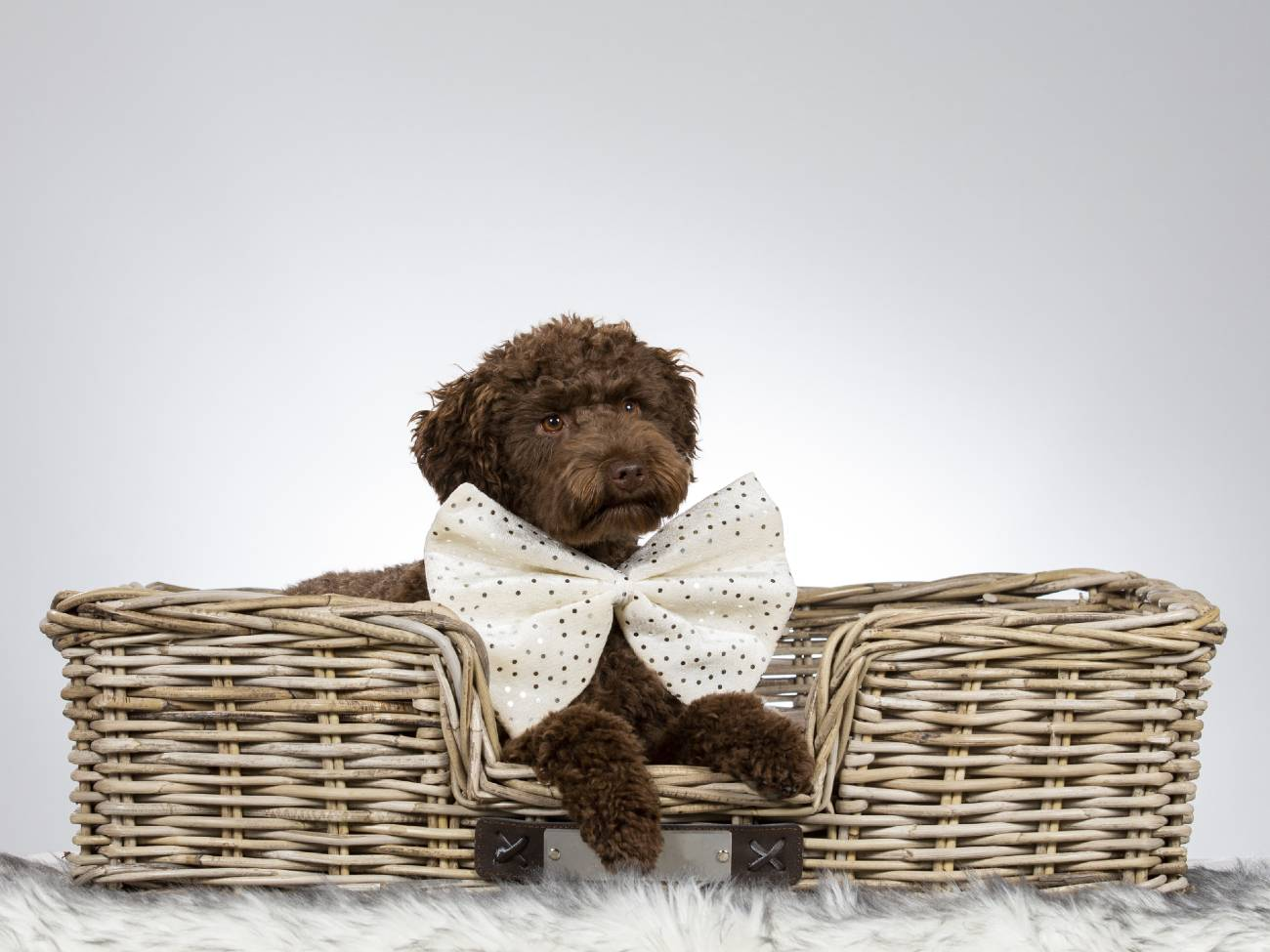 13 tips voor hondenspelletjes en je hond binnen bezighouden - Labradoodle pup in mand-min