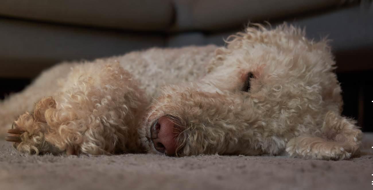 Labradoodle hond is aan de diarree