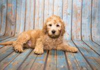 Labradoodle-puppy-min